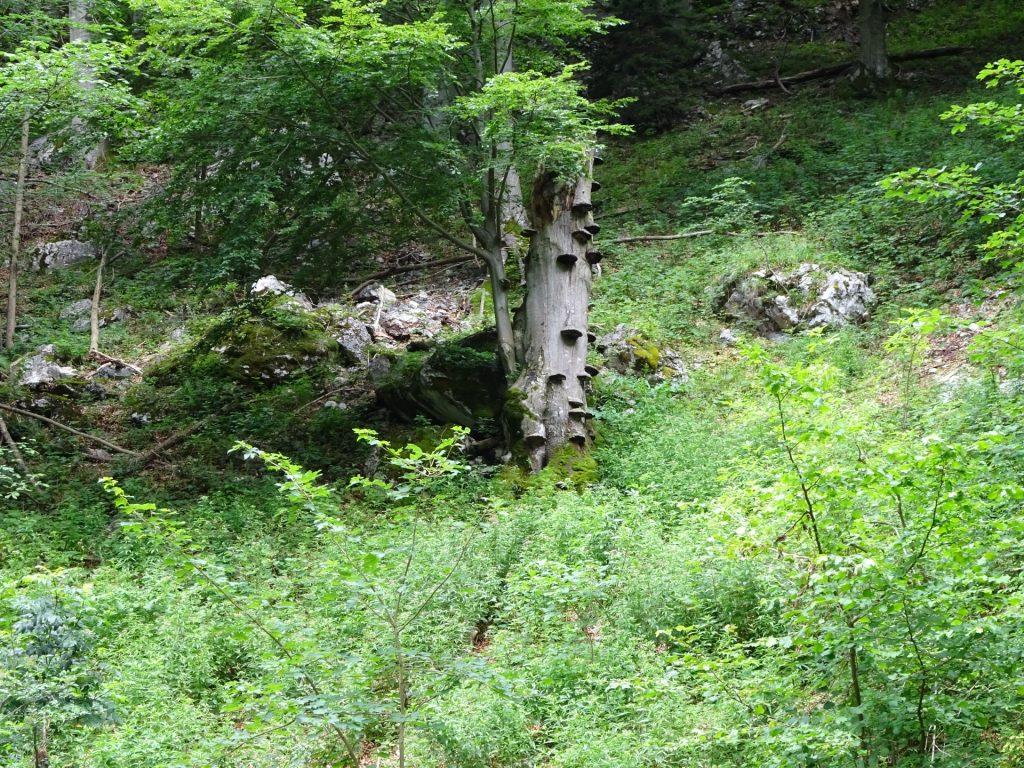 Interesting tree in the Weichtalklamm