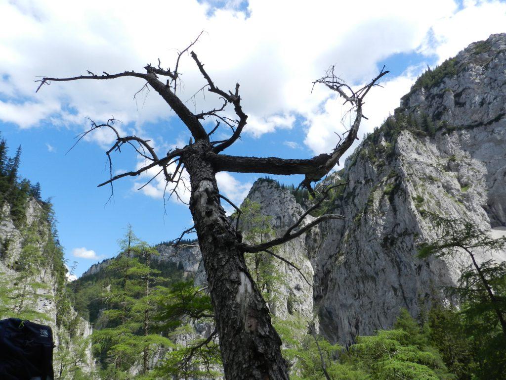 Distinctive tree on the scree field