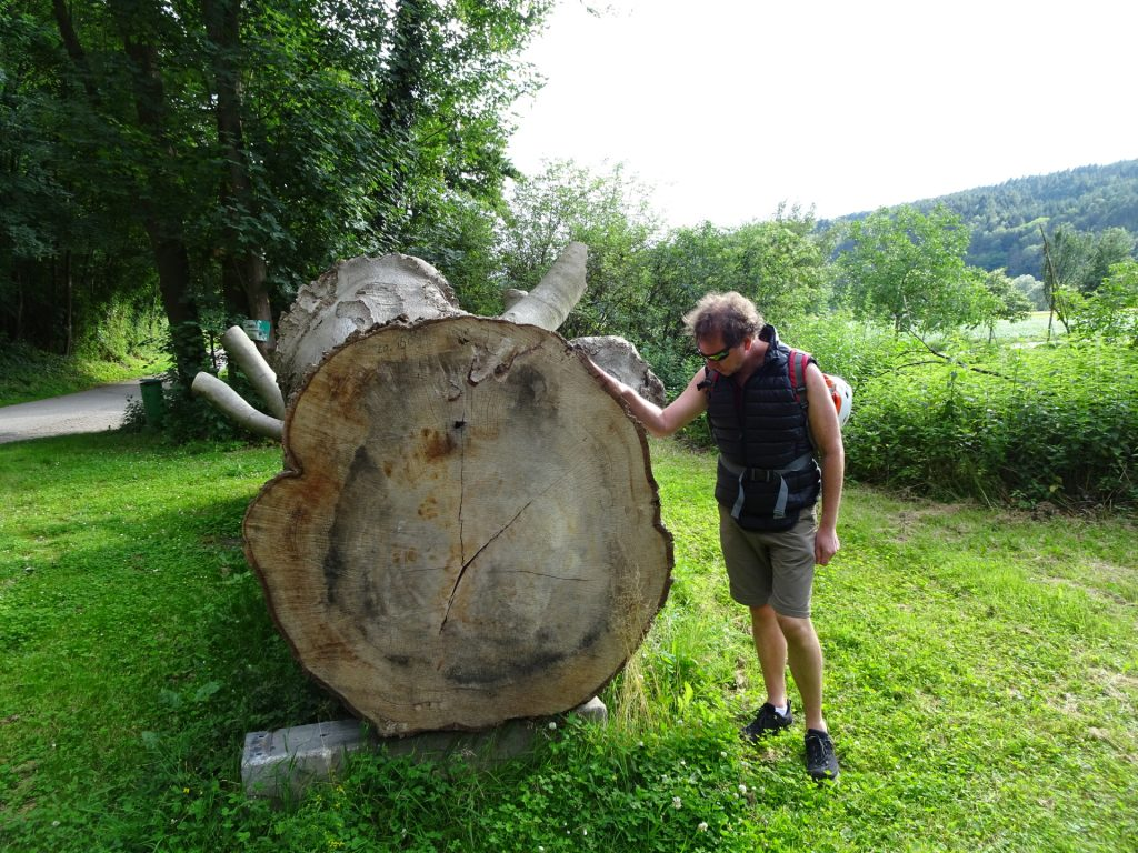 Hannes is impressed by this tree trunk having nearly the same size than him
