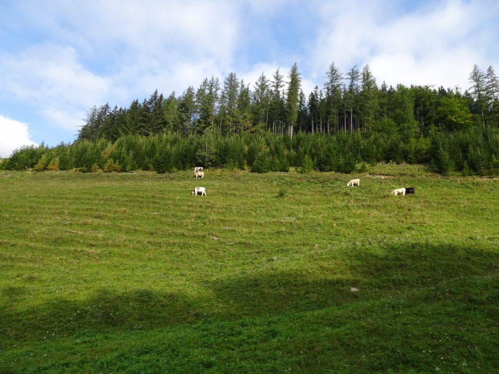 Walking through a mountain pasture
